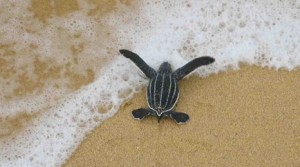Baby Leather Back Sea Turtle